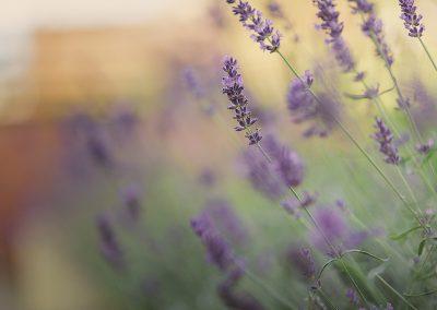 Lavender New Website 2019